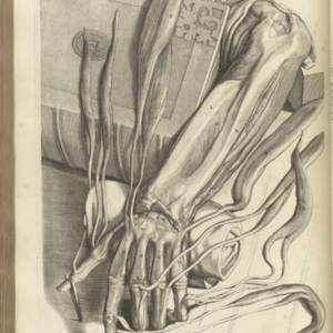 Table 71: Muscles and Sinew of the Hand (Dissection of the Forearm)